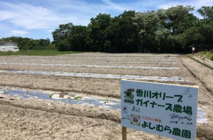 香川オリーブガイナーズ農園