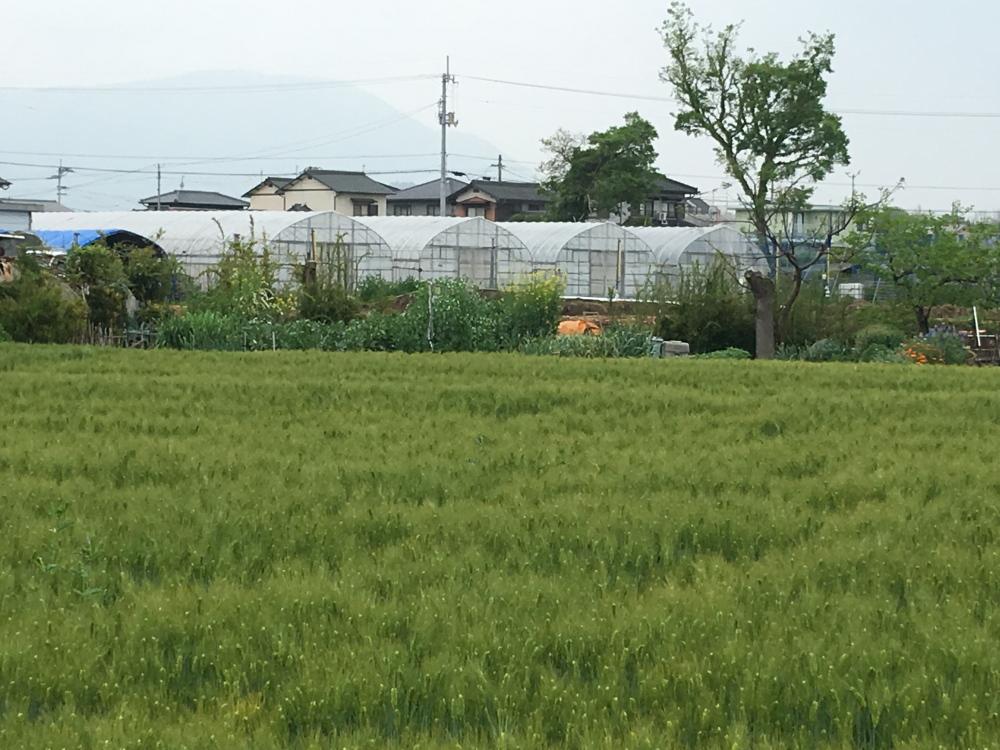 よしむら農園横の麦畑