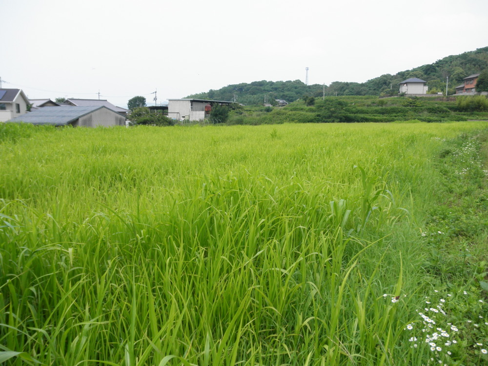 緑肥を植えた畑